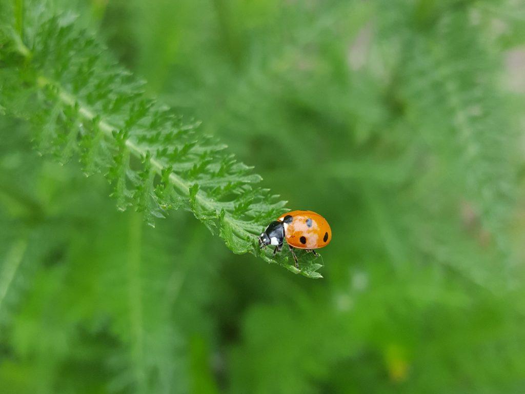 Insekt des Monats Januar: Marienkäfer