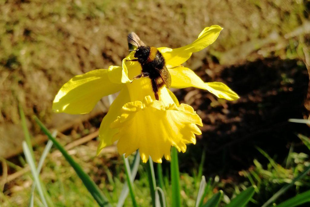 Insekt des Monats März: Dunkle Erdhummel