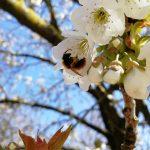 Insekt des Monats Mai: Sandbienen